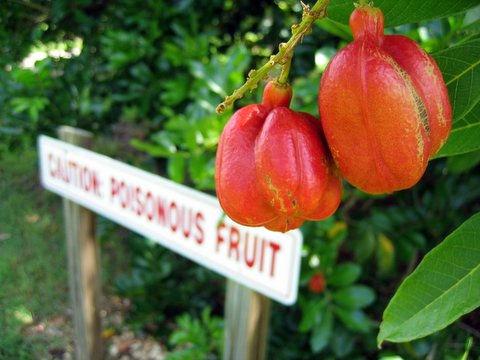 10 ядовитых фруктов в мире о которых вы должны знать