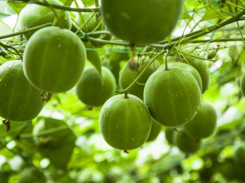 3 опасности от употребления фрукта монаха (подсластитель) для здоровья