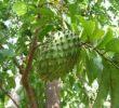 8 наиболее опасных побочных эффектов листьев анноны игольчатой