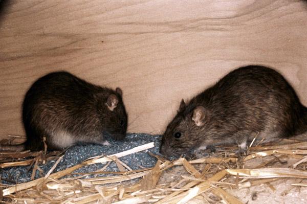 5 неожиданно опасных болезней вызываемых мышами и крысами.
