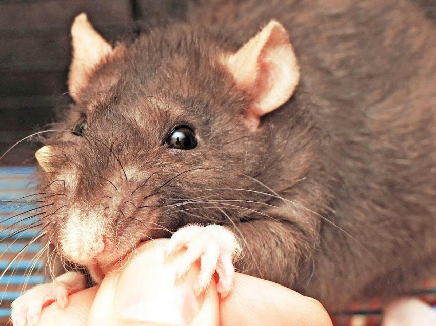 Побочные эффекты укуса крысы которые необходимо учитывать