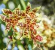 Орхидея сахарного тростника: характеристика и польза для здоровья